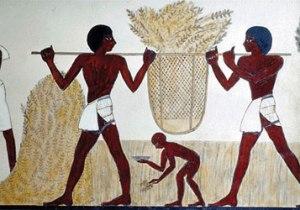 Egyptian emmer wheat